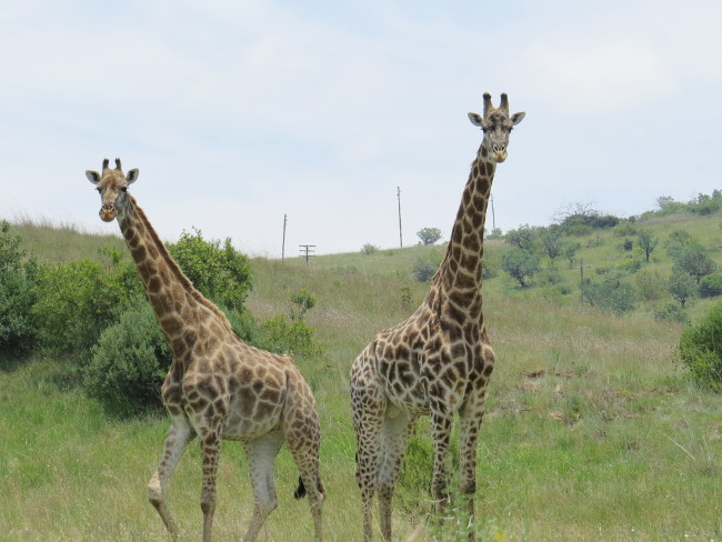 two_giraffes